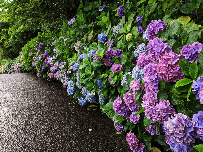 横須賀美術館の紫陽花